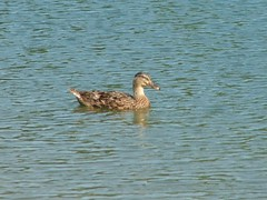 duck (tammye*) Tags: park birds animals duck ducks cfp craigheadforrestpark