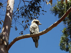 Kookaburra (The Hounds Of Shadow) Tags: tree cute branch feathers australia east kingfisher kookaburra naturesfinest laughingkookaburra eastaustralia
