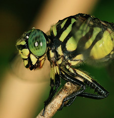 Just resting - green dragonfly (Tanya Puntti (SLR Photography Guide)) Tags: macro nature animal insect eyes dragonfly head yeux insecte tte canon100mmmacro naturesfinest dragonflymacro supershot abigfave dragonflycloseup anawesomeshot flickrdiamond macromarvels