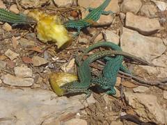 formentera (lagartijas azules)