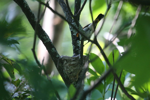 American Redstart at Nest
