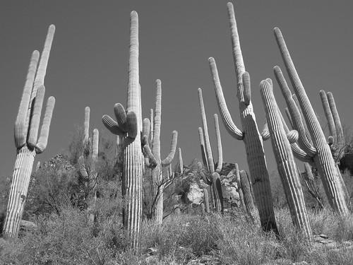Giant Saguaro Gang