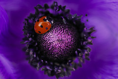 Cosy place (Britta's photo world) Tags: animal insect purple anemone ladybird britta 60mmf28dmicro flickrsbest niermeyer top2020 spiritofphotography