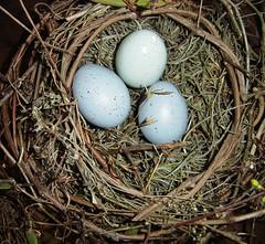 big nest