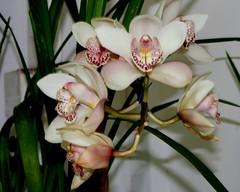Orkid ( Ihsan gerai Hujung)