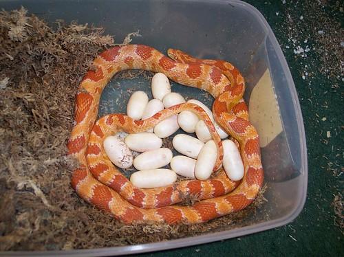Fluorescent Orange Corn Snake Cornsnake   Fluorescent Orange