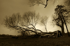 Survivor - London (louistib) Tags: park uk storm london sepia dramatic richmond oldtree end lightening hdr survivor richmondpark abigfave louistib louisthibaudchambon img7621hdr1