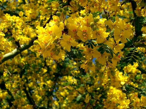Palo Verde Blooms