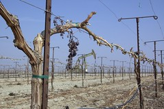 Table grape field and oil well
