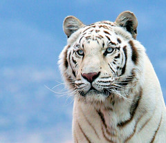 White Bengal Tiger (kjdrill) Tags: cats india white animal closeup cat asia searchthebest native tiger tigers fv10 rare bengal soe tigre exoticcats bigcats wcw 200faves specanimal avisittothezoo pantheratigristigris animalkingdomelite mywinners abigfave 49613 anawesomeshot megashot theunforgettablepictures tenandten goldwildlife thegoldendreams theenchantedcarousel goldenpalmaward flickrbigcats
