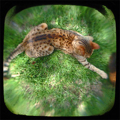 stretched out (valcox) Tags: cat square ttv throughtheviewfinder thelittledoglaughed