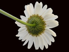 Back Of Oxeye Daisy On Black (Chrisser) Tags: flowers summer ontario canada nature daisies photoshop garden gardening fourseasons closeups asteraceae flowerfactory fantasticflowers floweronblack olympuscamediac765 onlythebestare
