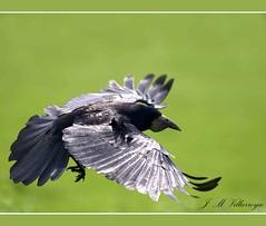 P4259319ts (jm_villarroya) Tags: birds searchthebest aves fineartphotos specanimal jmvillarroya allofnatureswildlifelevel1 allofnatureswildlifelevel2 allofnatureswildlifelevel3