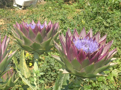 artichoke in flower