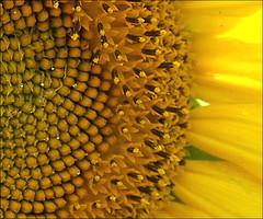 Amazing Sunflowers (Child of the King Photography) Tags: chapeau thegoldenmermaid life~asiseeit multimegashot inspiredbyhim