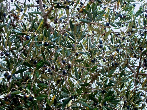olive2bis