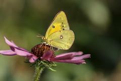 Orange Sulphur (nwitthuhn) Tags: butterfly orange sulphur female coneflower echinacea