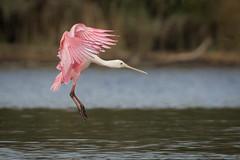 Spell Caster (gseloff) Tags: roseatespoonbill bird flight bif wildlife horsepenbayou pasadena texas kayakphotography gseloff