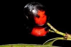 Elaeodendron australe var. australe (andreas lambrianides) Tags: elaeodendronaustralevaraustrale celastraceae blushboxwood boxwood blush plum redfruitedolive redoliveberry redfruitedoliveplum redolive cassineaustralis elaeodendronaustrale cassineintegrifolia portenschlagiaaustralis portenschlagiaintegrifolia australiannativeplant australianrainforest australianrainforestplants australianrainforesttrees qrfp nswrfp arffs redarffs blackarffs subtropicalarf dryarf littoralarf