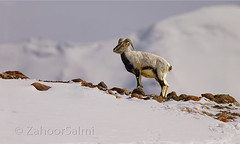 Himalayan blue sheep (Zahoor-Salmi) Tags: zahoorsalmi salmi wildlife pakistan wwf nature natural canon birds watch animals bbc flickr google discovery chanals tv lens camera 7d mark 2 beutty photo macro action walpapers bhalwal punjab