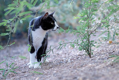 On the Prowl... (Troy Snow) Tags: arizona digital cat feline gato gilbert tnr straycat abandonedcat photoschmuck riparianreserve