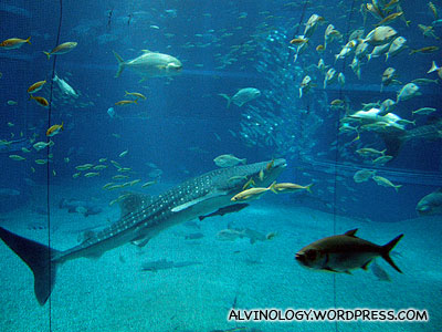 Lots of other giant fish in the whale shark tank