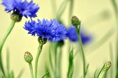 closer than you think! (vicipix) Tags: flowers light summer flower nature rural spring bokeh country springflowers blueflowers summerflowers
