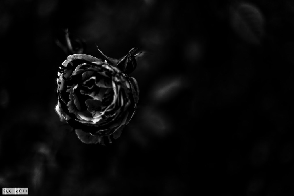 Roses (3 of 20)