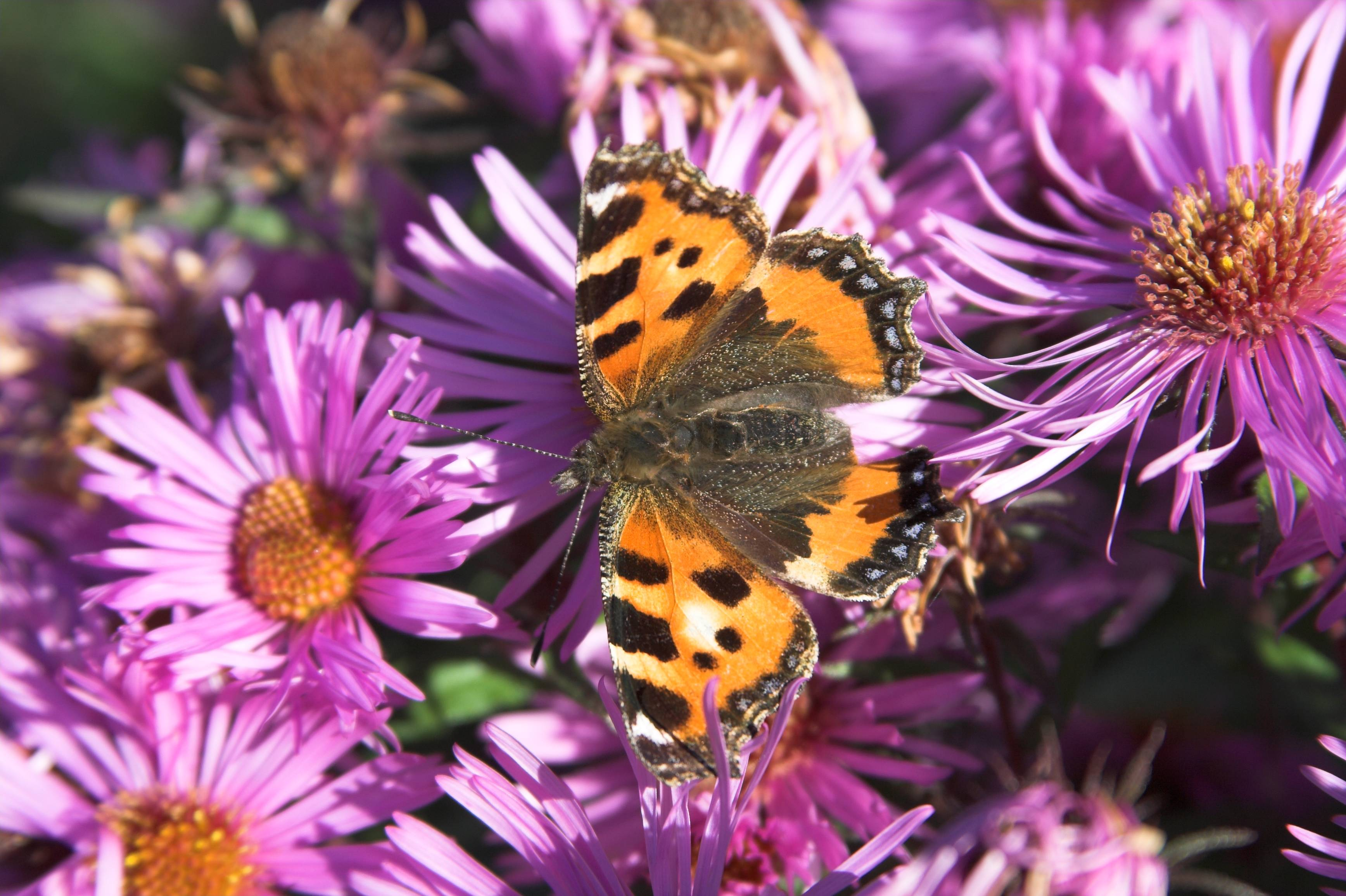 Small Tortoiseshell Butterfly, Small Tortoiseshell Butterfly Wallpapers
