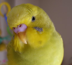 2006-02-13 DrowsyTopaz 2 (Uchinotori) Tags: pet birds tori budgies smallbirds feathered yellowbirds inko  sekiseiinko topaztootee