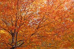 Burning Tree (shutterBRI) Tags: november autumn orange tree fall leaves canon eos nc northcarolina raleigh carolina 2007 5014 carolinas lakelynn shutterbri 40d brianutesch photofaceoffwinner photofaceoffplatinum pfogold brianuteschphotography