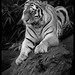 Anoushka, Amur Tiger, Black and White Study by Dan Harrod Photography Blog