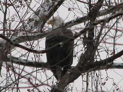 Bald eagle 120707