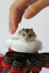 I got the gift first. (EricFlickr) Tags: christmas xmas pet pets cute animal animals taiwan hamster