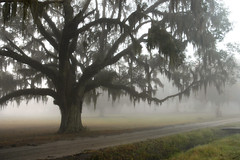 Winter Oak on a foggy morning (Sco C. Hansen) Tags: road morning tree beauty field fog scott moss oak dirt spanish hansen beaufort lowcountry beaufortcounty beaufortsc scotthansen