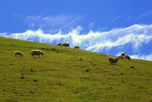 12 Sheep