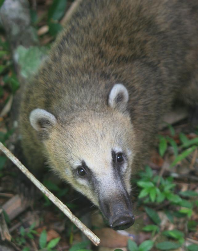 Fauna argentina: El Coatí. Fotos videos e info.
