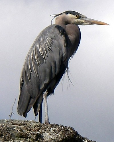 caddy%2Bheron%2B2