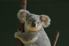 A Happy Queenslander (duckspeaks) Tags: tree cute animal d50 zoo nikon nef australia koala 180mm naturesfinest specanimal ilovemypic bestofaustralia nginationalgeographicbyitalianpeople llovemypic