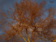 Arbol (*Vix*) Tags: wood sunset orange cloud tree arbol atardecer madera tramonto dry bluesky céu nuage nuvem twigs arbre árvore madeira seco ocaso nube bois coucherdesoleil legno cieloazul arboli