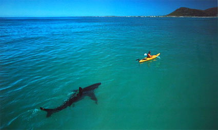 Great White Shark trailing Kayak