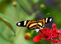 Butterfly (claudio.marcio2) Tags: butterfly bravo borboleta allyouneedislove awardwinner blueribbonwinner ultimateshots flickrelite astoundingimage natureislovely photonawardsgroup atravésdaminhalentethroughmylens