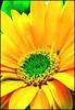 (Cliff Michaels) Tags: flower color macro photoshop d50 nikon michaels capturenx tennpenny photoscliff
