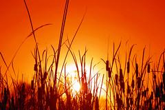 All Aglow... (law_keven) Tags: sunset england sun reeds essex colchester cubism blueribbonwinner abigfave platinumphoto diamondclassphotographer theperfectphotographer goldstaraward dragongold rubyphotographer alemdagqualityonlyclub photoexel