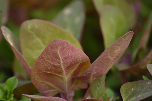 Atriplex hortensis 'rubra' - Rode tuinmelde