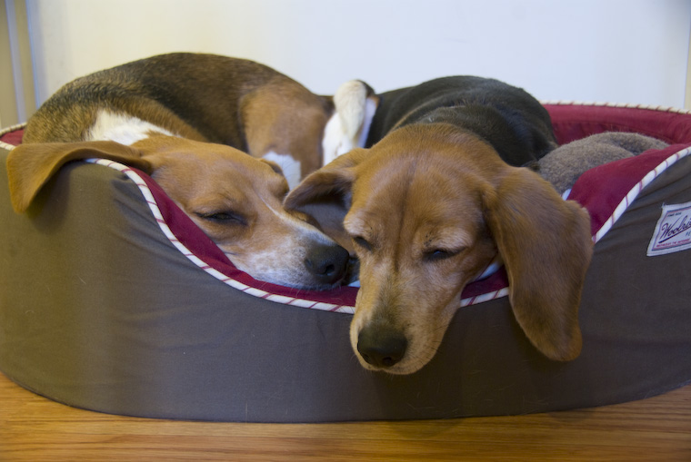 Sleepy Beagles
