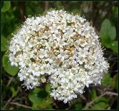 White tiny petals. (tracyhughes2_7. CPAGB LRPS) Tags: white flower macro nature petal digitalcameraclub supershot flickrdiamond 100commentgroup newgoldenseal