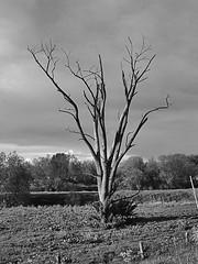 Dode boom te Gewande Death tree at Gewande (petervandelavoir) Tags: tree boom fabulous maas meuse blueribbonwinner deathtree blackwhiteaward dodeboom flickrlovers
