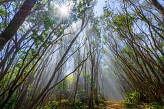 Pihea Trail Hike (Heath Cajandig) Tags: pihea swamp trail kauai hawaii hiking fog clouds beautiful sun rays beams