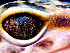 Leopard Gecko (Alterkicks) Tags: macro eye animal lizard gecko leopardgecko colouful ashowoff